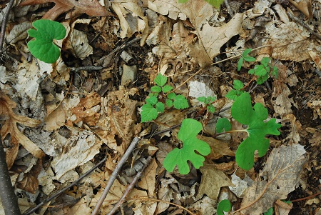 Ground with bloodroot
