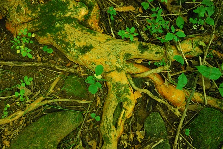 Ground with Osage orange roots.jpg