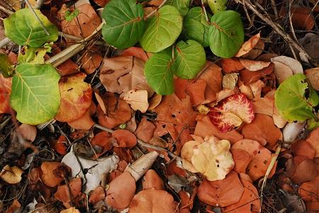 Ground with sea grape leaves_369.jpg