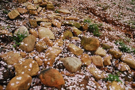 Ground with petal snow_622.jpg