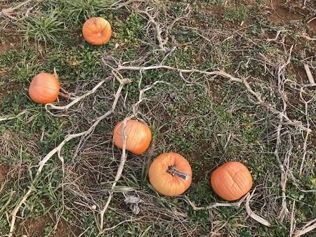 Ground with unchosen pumpkins_1099.jpg