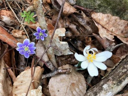 Fround with hepatica and bloodroot_2003 (1)