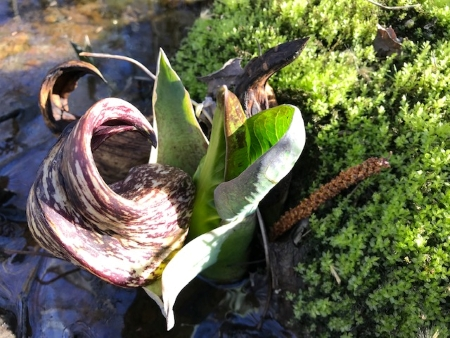 Ground with skunk cabbage_1843